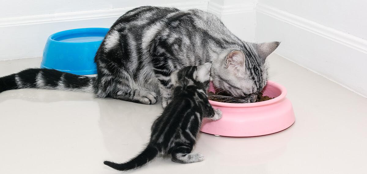 Dale a tu gatito una alimentación adecuada