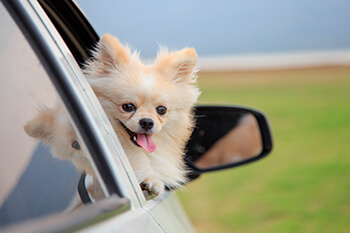 Cómo llevar a tu perro en tu auto
