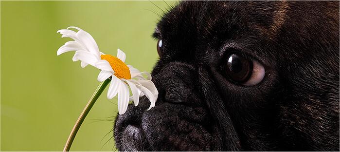 El Olfato Canino