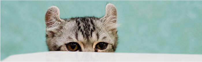¿Por qué mi gato es tímido?