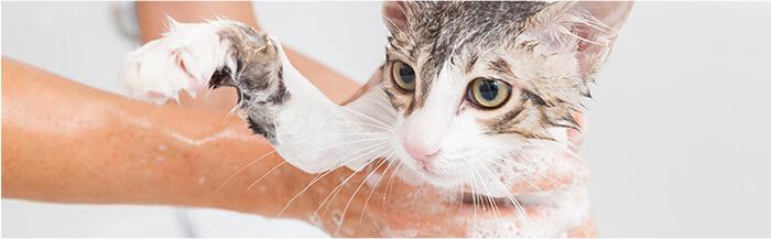 Cómo y cuándo debes bañar a tu gatito.