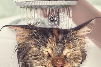 ¿Cómo bañar a tu gato?