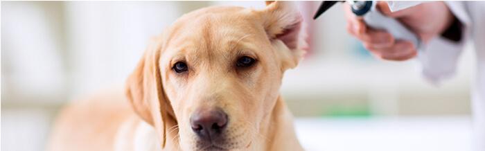 Otitis - Enfermedades más comunes en perritos