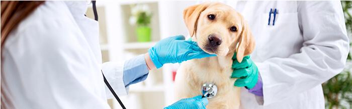 Enfermedades más comunes en perritos