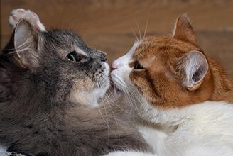 Aprende sobre el celo de tu gatita