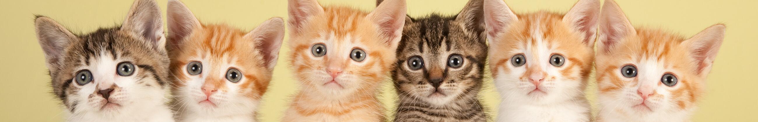 ¿Por qué ronronean los gatos?
