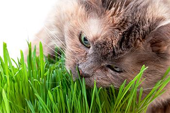 ¿Por qué mi gato come hierba?