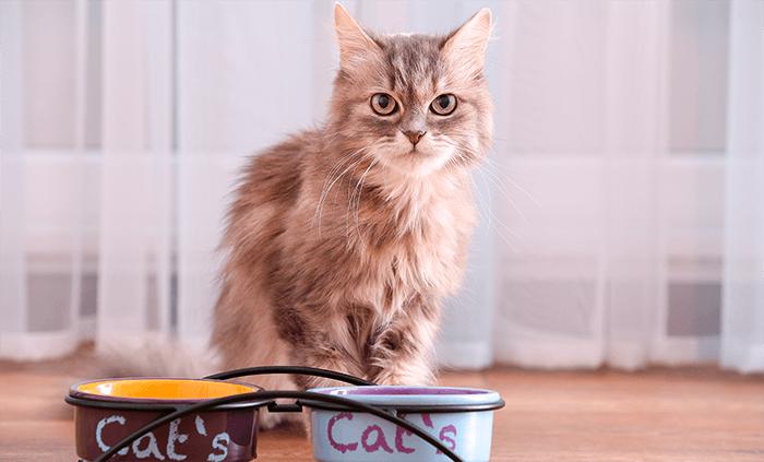 Aspectos que debes saber al alimentar a tu gato