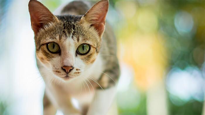 Todo sobre el celo de tu gato