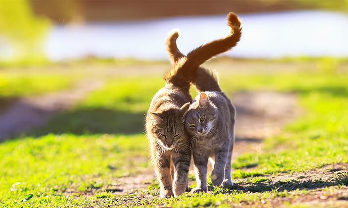 Curiosidades sobre el celo felino