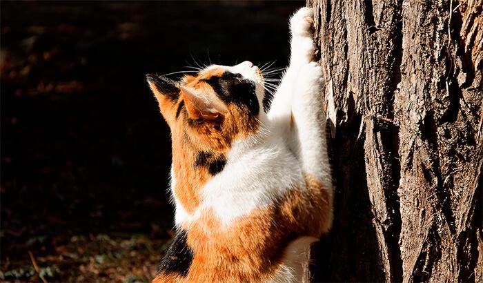 Signos de celo en los felinos macho