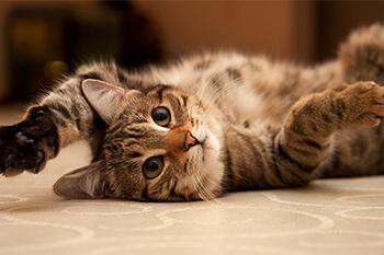 ¿Cómo saludan los gatos?