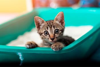Enséñale a tu gatito a utilizar su caja de arena